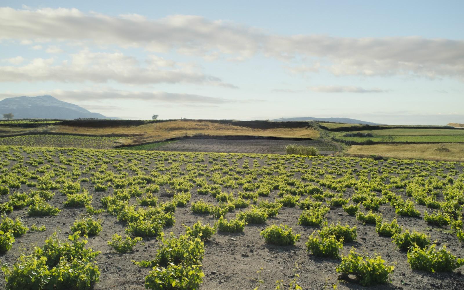 vineyards santorini